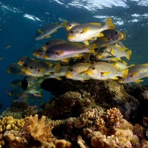 Great Barrier Reef sweetlips